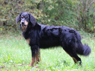 Galeija vom Bagalutenhof Hundezucht Alpensturm Hovawart