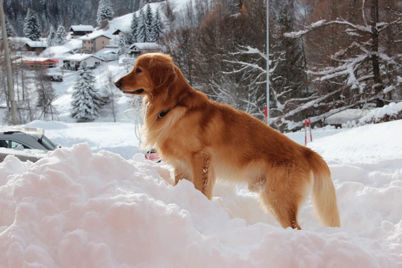 Deckruede Akila stehend im Schnee